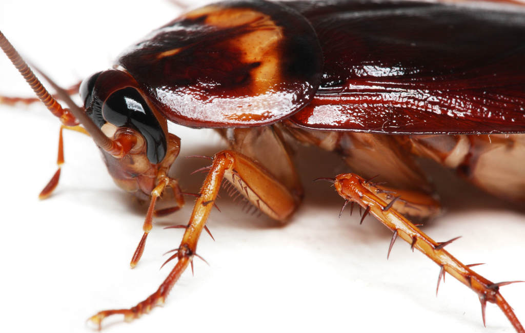 Kakkerlakken In Spanje