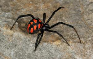 Giftige spinnen in Spanje