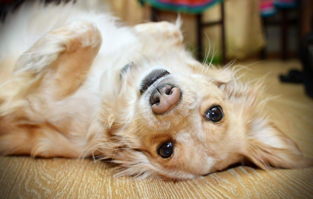 Verplichtingen met een hond in Spanje